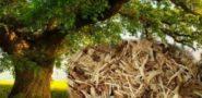 Лечебные свойства коры дуба и противопоказания