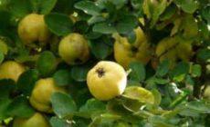 Айва - полезные свойства и противопоказания для здоровья, рецепты