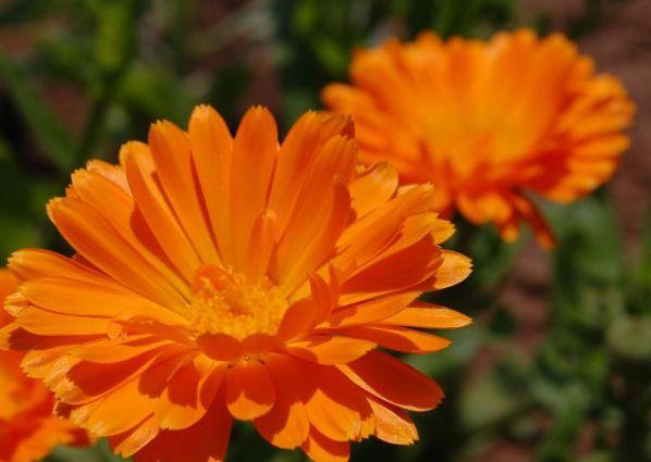 Календула - лечебные свойства и противопоказания состав