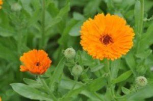 Календула - лечебные свойства и противопоказания