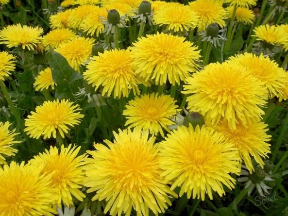 Состав цветков одуванчика