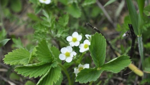 Целебные свойства листьев и цветков