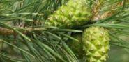 Варенье из сосновых шишек - польза и вред, рецепты