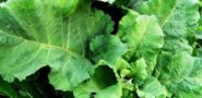 Лопух - лечебные свойства и противопоказания. Применение и рецепты из корня и листьев
