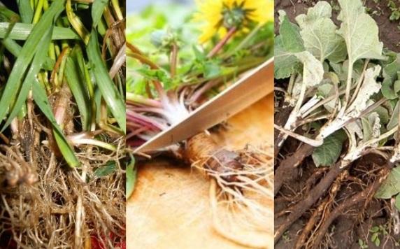 Полезная смесь из трёх корней - одуванчика, пырея, лопуха