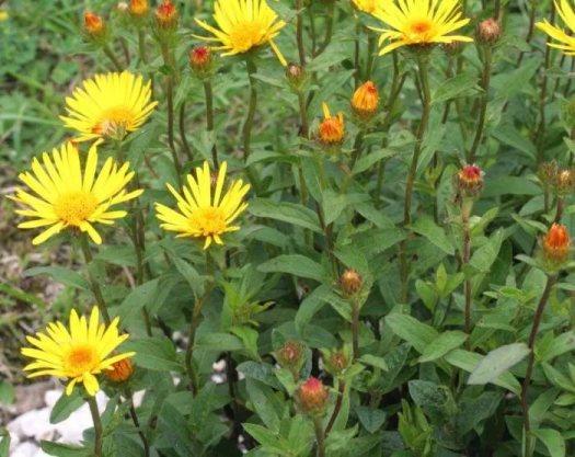 Лечебные свойства корня и травы