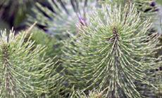 Хвощ полевой - свойства и применение, противопоказания