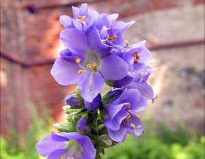 Синюха голубая - польза и вред, народные рецепты с растением