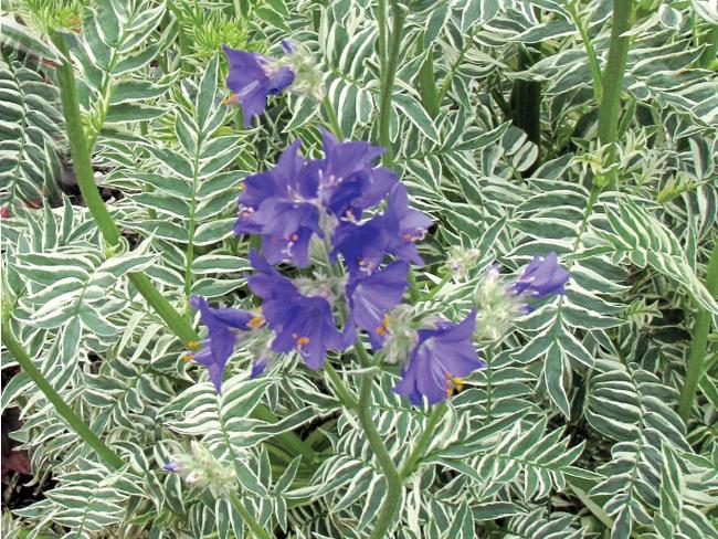 Описание травы синюхи с фото