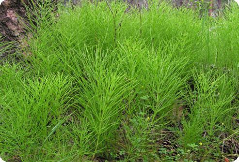 Описание травы