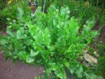 Листья хрена от отложения солей — способ применения