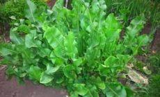 Листья хрена от отложения солей и других заболеваний