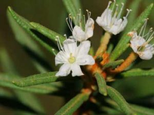 Багульник болотный — лечебные свойства и противопоказания