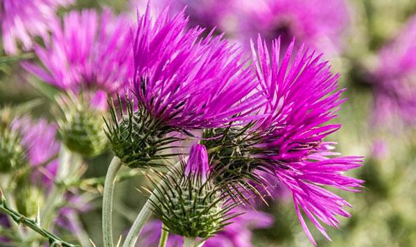 Расторопша пятнистая - описание растения