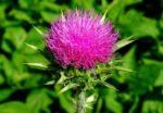 Расторопша — лечебные свойства и противопоказания