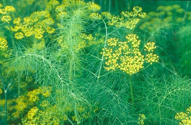 Полезные свойства травы укропа