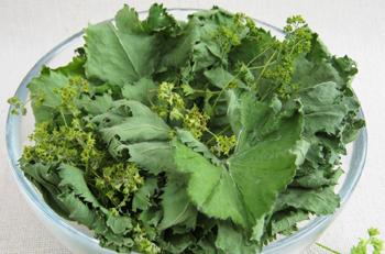 Трава манжетка - лечебные свойства и противопоказания