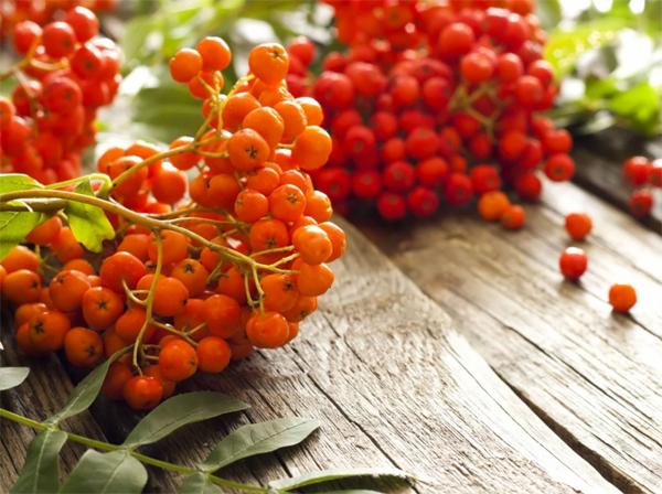 Полезные и лечебные свойства рябины красной