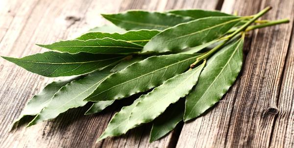 Лечебные свойства лаврового листа