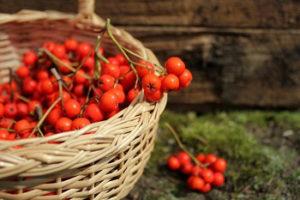 Рябина красная: полезные свойства и противопоказания. Отзывы