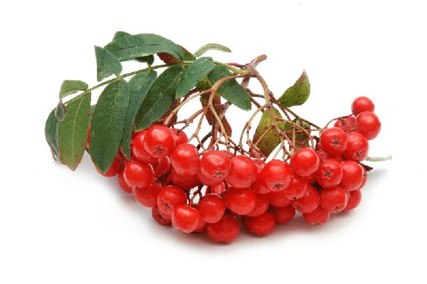 Состав и калорийность красной рябины