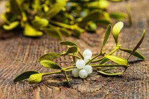 Омела белая: лечебные свойства и противопоказания