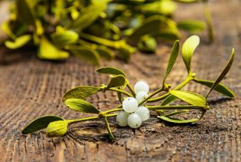 Омела белая  лечебные свойства и противопоказания применение