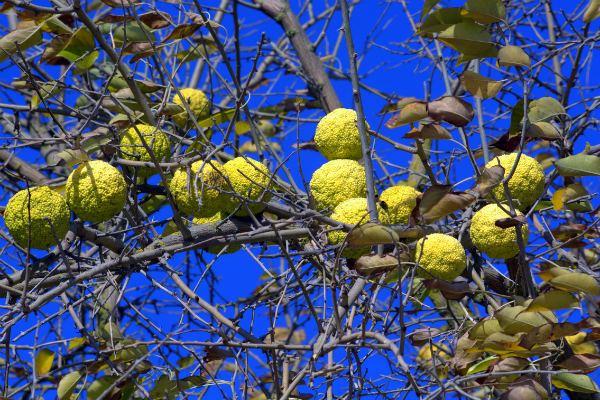 Адамово яблоко - что это, где растет?