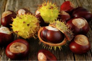Каштан конский: лечебные свойства и противопоказанияпри варикозе, геморрое Применение Рецепты, Плоды, Фото, Отзывы