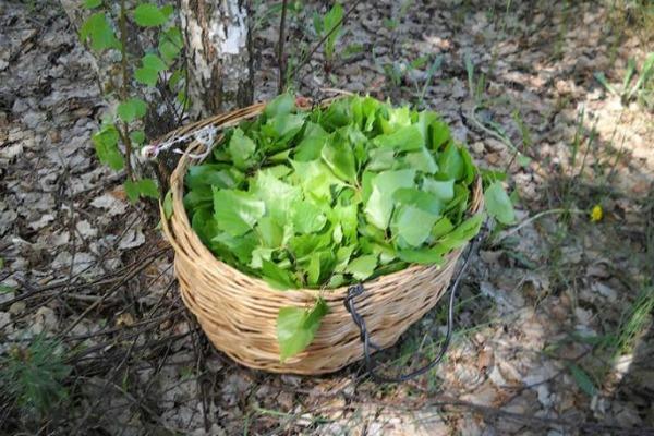 Заготовка листьев березы