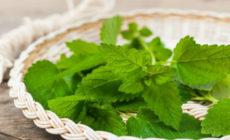 Мелисса: лечебные свойства и противопоказания, когда собирать, рецепты, фото Отзывы