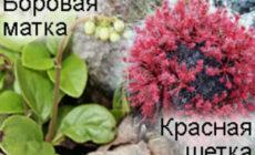 Красная щетка и боровая матка: совместное применение при климаксе, при миоме Отзывы