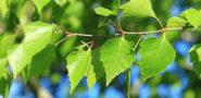 Листья березы: лечебные свойства и противопоказания при бронхите, рецепты, фото Отзывы