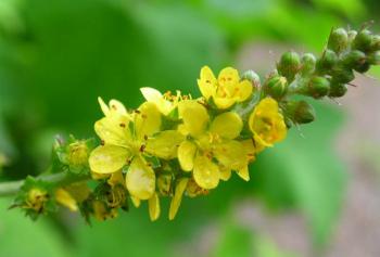 Трава репешок: польза и вред, лечебные свойства и противопоказания, применение в народной медицине