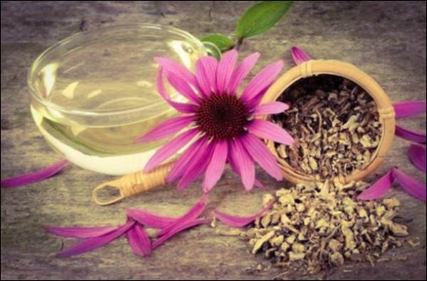 Напиток из корня эхинацеи при вирусных заболеваниях