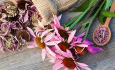 Эхинацея: лечебные свойства и противопоказания для женщин, для детей, для мужчин Настойка Фото Отзывы