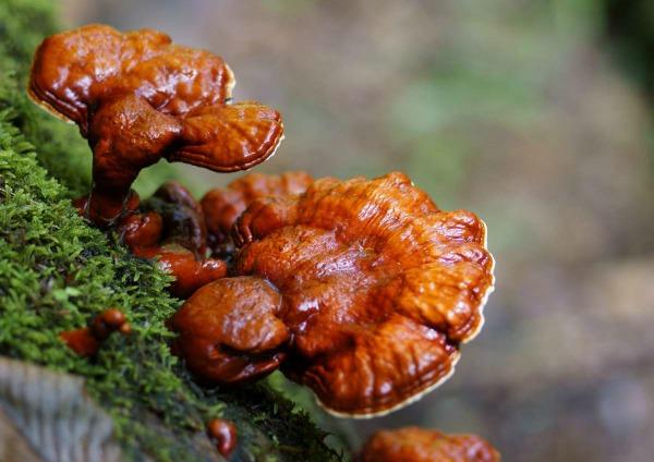 Полезные свойства гриба Рейши