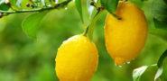 Лимон: польза и вред для организма человека, для женщин, для здоровья Фото видео