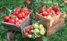 Яблоки: польза и вред для здоровья Калорийность Как употреблять сушеные, печеные, моченые яблоки Отзывы