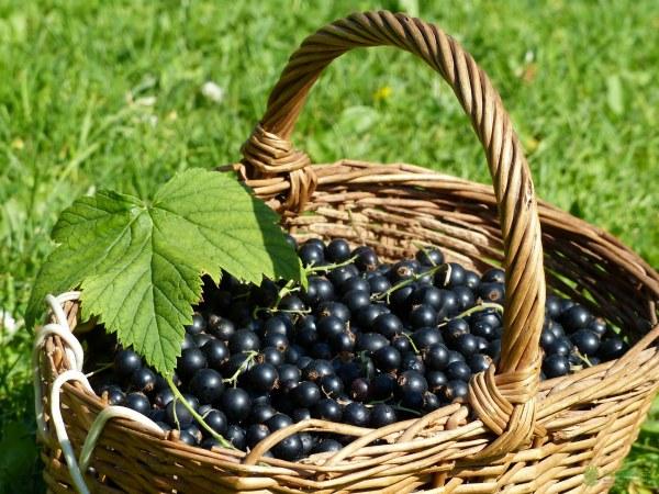 Ягоды черной смородины польза