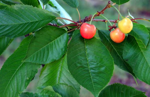 Польза листьев черешни