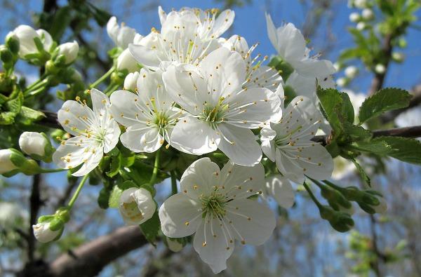 Польза цветов черешни
